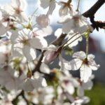 今年の桜も、最後かな…
